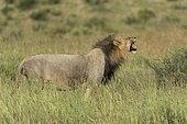 Lion (Panthera leo), flehmen, Kgalagadi, South Africa