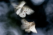 Apollos (Parnassius apollo) in flight