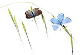 Butterflies warming up at dawn on white background