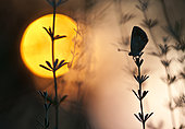 Butterfly silhouette at sunset, Spain
