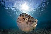 Nautilus (Nautilus belauensis), Palau, Oceania
