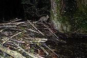 Chat sauvage (Felis silvestris), de nuit, sur un barrage de castor dans un bras mort de la rivière d'Ain. Département de l'Ain 01, France
