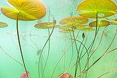 White Waterlilies (Nymphaea alba) in a lake. France, Ain (01)