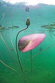 Flourishing White Waterlily (Nymphaea Alba) in a lake. France, Ain (01)