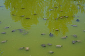 Basin where Florida turtles (Trachemys scripta elegans) are kept after they have been brought by private individuals so they won't propagate in the natural environment of Pierrelatte Crocodile Farm. France, Drôme (26),