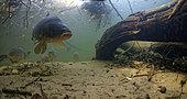 Leather carp (cyprinus carpio carpio) in the river Cher, Loir-et-Cher, France