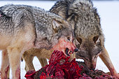Gray wolf or grey wolf (Canis lupus) eating a deer