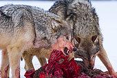 Loup commun (Canis lupus), meute mangeant un Cerf dans la neige en hiver