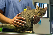 European cat in veterinary consultation.