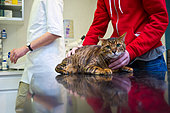 European shorthair at the veterinarian
