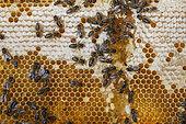 Honey bees (Apis mellifera) workers on alveoli, France
