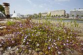Kenilworth Ivy (Cymbalaria muralis) blooming on the docks, France