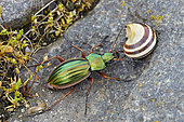 Golden beetle (Carabus auratus) and shell Snail, France
