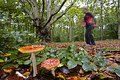 Fly agarics (Amanita muscaria) in forest and walker, France