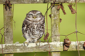 Little Owl (Athene noctua) on a fence and Clematis in winter, France