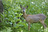 Roed deer (Capreolus capreolus) in spring, France