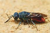 Common ruby-tailed wasp (Chrysis ignita), France