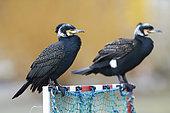 Great Cormorants (Phalacrocorax carbo) resting, France