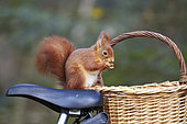 Red squirrel (Sciurus vulgaris) eating on the saddle of a bike and wicker basket, France