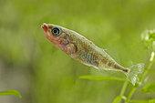 Stickleback (Gasterosteus aculeatus), France