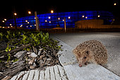 Western european hedgehog (Erinaceus europaeus) on an alley at night, France