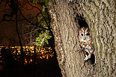 Tawny Owl (Strix aluco) in the hollow of a tree before an enlightened city at night, France