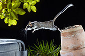 Dormouse (Eliomys quercinus) jumping from a flower pot in a garden at night, France
