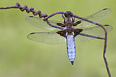 Eurasian red dragonfly (Libellula depressa) on barbed wire, France