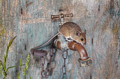 Wood mouse (Apodemus sylvaticus) on an outside faucet, France