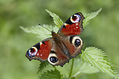 Camberwell Beauty (Inachis io) on nettle (Urtica sp), France