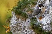 Peregrine Falcon (Falco peregrinus) on cliff, France