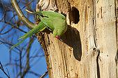 Ringed Parakeet (Psittacula krameri) near its nest in a trunk, France