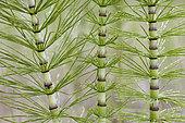 Giant horsetail (Equisetum telmateia), France