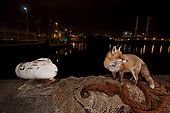 Red fox (Vulpes vulpes) and net on a pier at night, France