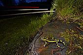 Barred fire salamander (Salamandra salamandra terrestris) on a roadside stump at night, France