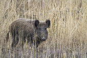 Eurasian wild boar (Sus scrofa) in the dry grass in winter,, France