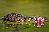 Eared slider (Trachemys scripta elegans) on leaf and flower Water Lily, France