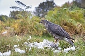 Sparrowhawk (Accipiter nisus) Female with a prey, Autumn, England