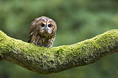 Tawny owl (Strix aluco) Owl perch on a oak branch, England, Autumn