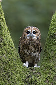 Tawny owl (Strix aluco) Owl perch on a tree stump, England, Autumn
