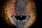 Portrait of Yellow-edged moray (Gymnothorax flavimarginatus), Indian Ocean, Reunion