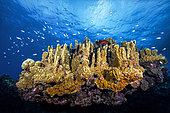 Coral Reef, Reunion Island, Indian Ocean