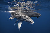 Rorqual à bosse (Megaptera novaeangliae) et jeune sous la surface, Océan Indien, La Réunion