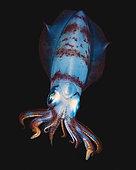 Bigfin reef squid (Sepioteuthis lessoniana) swimming at night, Indian Ocean, Reunion