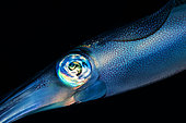 Portrait of Bigfin reef squid (Sepioteuthis lessoniana) swimming at night, Indian Ocean, Reunion
