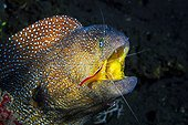 Portrait of Starry Moray (Gymnothorax nudivomer) and cleaner shrimp (Lysmata amboinensis), Indian Ocean, Reunion