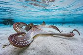 Octopus (Octopus sp) spreading its tentacles in the lagoon, Mayotte, Indian Ocean.
