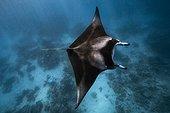 Reef manta ray (Manta alfredi) in lagoon, Mayotte, Indian Ocean