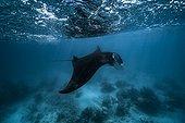Reef manta ray (Manta alfredi) swimming under surface, Mayotte, Indian Ocean