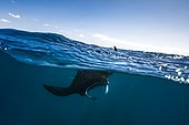 Reef manta ray (Manta alfredi) swimming at the water's surface, Mayotte, Indian Ocean